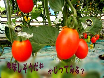 トマト畑にて.jpg